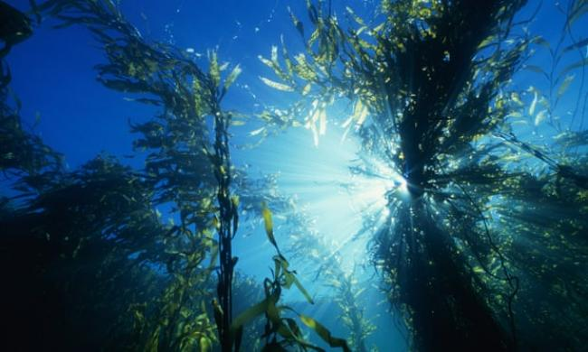 Ocean heatwaves destroy kelp forests, which provide food and shelter for many other species. Photograph: Thomas Schmitt/Getty Images