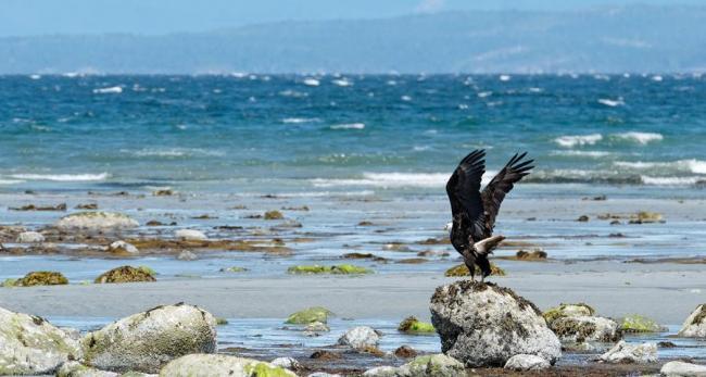 Eagle by the sea - photo: Marnee Pearce