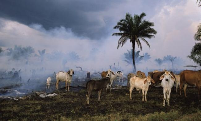 Cattle in the Amazon rainforest.  Photograph: Michael Nichols/National Geographic/Getty Images