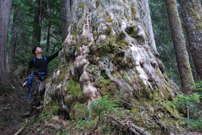 An ancient yellow cedar in an area of Dakota Ridge that's listed as a new cutblock by BC Timber Sales. Photo: Elphinstone Logging Focus