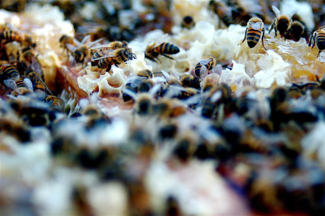 The federal government last week announced that it will not ban a class of pesticides known to harm bees, aquatic insects, and the ecosystems that depend on them. Photo by Todd Huffman / Wikimedia Commons