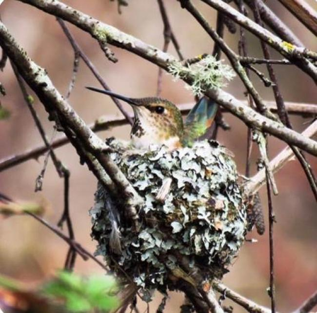 Anna's hummingbird in her nest. Nests are under 4 cm in diameter, made of feathers, moss and lichen and bound together by spider webs. Photo credit: @pacificnorthwestkate