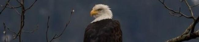 Eagle - Mizana Gheezhik (Sen. Murray Sinclair)