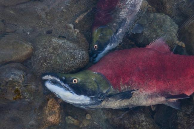Fraser River sockeye salmon returns in three of the past five years have seen record lows. Photo: Watershed Watch / Flicker