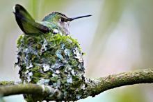 An Anna's Hummingbird in a nest.Melissa Hafting photo