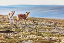 Caribou calves in the Utukok uplands in the National Petroleum Reserve in Alaska.Credit...Patrick Endres/ Design Pics Inc., via Alamy