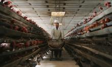 A Chinese poultry farm. China stepped up surveillance after bird flu outbreaks. Photograph: China Photos/Getty Images
