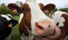 Animal farming is one of the activities producing methane, which has a warming potential more that 80 times that of CO2. Photograph: Yves Herman/Reuters