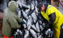 Fish mortality has more than quadrupled, from 3% in 2002 to about 13.5% in 2019, in Scottish salmon farms alone. Photograph: Robert F Bukaty/AP
