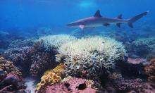 Coral on the Great Barrier Reef, which has suffered its most widespread coral bleaching on record. Photograph: James Cook University/AFP via Getty Images
