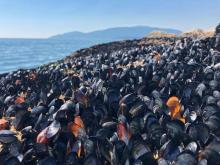 Dead mussels at the waterline in British Columbia. Photograph: Christopher Harley