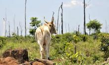 Vast areas of the Amazon rainforest are being burned and cleared for grazing cattle — a double blow to global warming, as cattle produce methane and cleared forests release carbon into the atmosphere. Photograph: Florian Kopp/imageBROKER/REX/Shutterstock