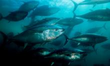 All fish need dissolved oxygen, but biggest fish such as tuna (above) are particularly vulnerable because they need much more to survive. Photograph: Mark Conlin/Getty Images