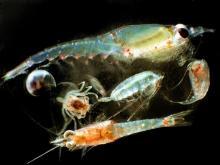 Zooplankton. Credit:Matt Wilson/Jay Clark, NOAA NMFS AFSCWikimedia
