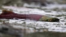 A female sockeye salmon lays her eggs in a stream north of Chase, B.C. Because of drought conditions this year, there's a higher than normal mortality rate among the salmon. (JOHN LEHMANN/The Globe and Mail)