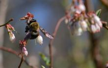 About 35 per cent of food crops globally - including blueberries - depend on pollinators like bees. Photo by growtwo/pixabay