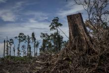 Land clearing of peatland forest to make way for a palm oil plantation in Aceh province, Indonesia, the habitat of the Sumatran orangutan, on November 13, 2016. The orangutans in Indonesia have been on the verge of extinction as a result of deforestation and poaching. Credit: Ulet Ifansasti/Getty Images