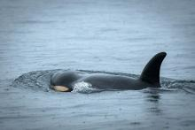"""Southern resident killer whale Scarlet, or J50, in 2018 displaying """"peanut-head"""" — a head shape indicating the loss of blubber and poor body condition. Photo by Katy Foster / NOAA Fisheries"""