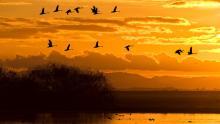Migratory birds - C. M. Burge / Getty Images