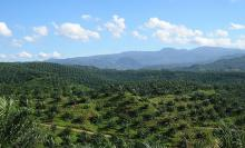 Oil palm plantation - Achmad Rabin Taim/Wikimedia Commons