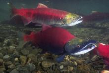Sockeye salmon spawning in the Fraser River. UBC researchers are finding female salmon are dying at a higher rate than male salmon.Getty Images