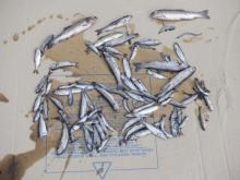 Over 300 fish were found dead on the Burnaby side of Stoney Creek Friday.John Templeton
