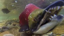 Record warm ocean and river temperatures could threaten B.C. salmon numbers, federal fisheries officials say. (CBC)
